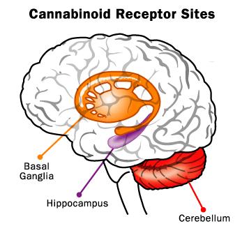 Cannabinoid Brain Receptors